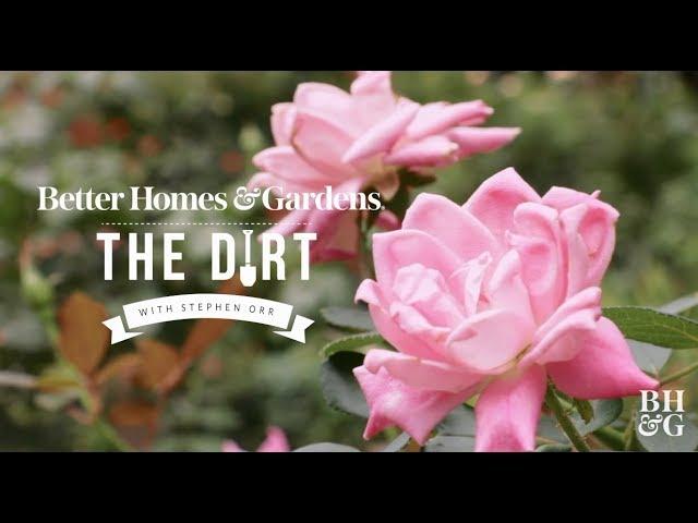 Roses for Beginners | The Dirt | Better Homes & Gardens