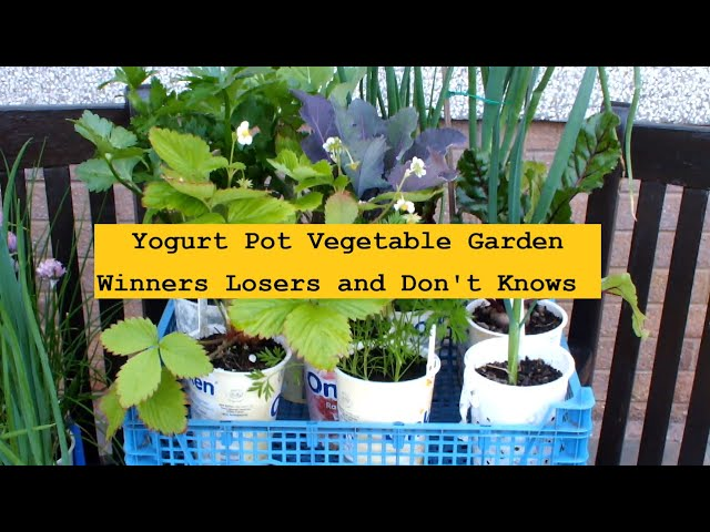 Yogurt Pot Vegetable Garden  Winners Losers and Don't Knows