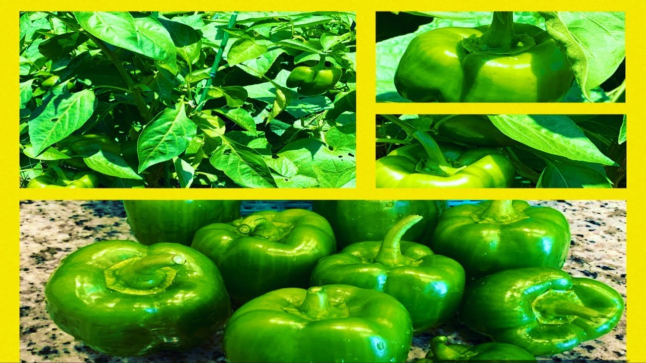 GROWING BELL PEPPERS – HOW TO HARVEST & PRESERVE | Gardening For Beginners